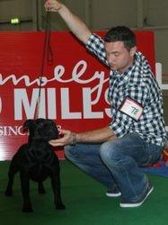Open Staffordshire Bull Terrier Class Winner