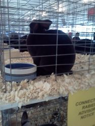 my black standard rex at the rabbit show she got bob and she is only three months old she is the best ever