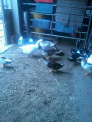 ducks and gesse