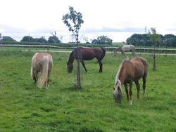 de paarden Kuna,Brokje,Bueno en Valerie