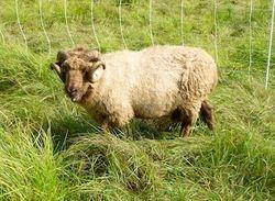 Shetland Ram