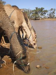 Outback Australian Camels at a waterhole having a drink.