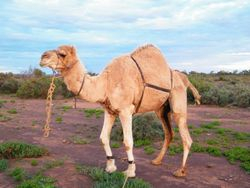 Hobbling the camels