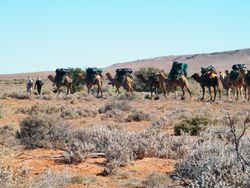 Camels all Loaded Up For Trekking.