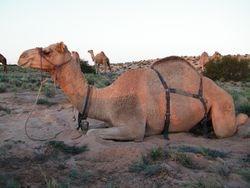 Outback Australian Camels, Beltana Station, South Australia. Baci the Camel