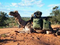 Camel Trekking. Camels In Australia, Outback Australian Camel Safaris, Beltana Station
