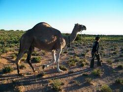 Camel Handling on Beltana Station with Outback Australian Camels Camel Safaris, Camel Training and Camel Tours
