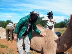 Grooming the camels, Beltana Station Camel Safaris, Outback Australian Camels, South Australia