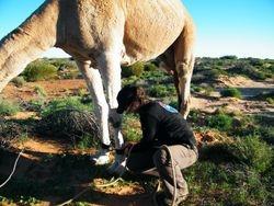 Unhobbling the camel. Cameleer training, Beltana Station, South Australia
