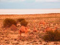 Camels Feeding, Outback Australian Camels Camel safaris, Camel Training and Camel Tours, Beltana Station, Flinders Ranges, Outback South Australia
