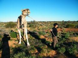 Leading Charlie. Camel Safari, Beltana Station, Flinders Ranges, South Australia