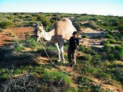 Camel Handling, Outback Australian Camels, Camel Safaris Camel Tours and Camel Training, Beltana Station, South Australia