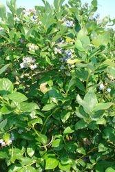 Bancy Blueberry Farms