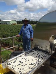 Dad using the harvester to pick berry.