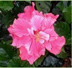 Hibiscus 9