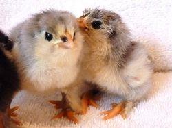 Blue bantam faverolles chicks