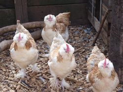 Young pullets together 2011