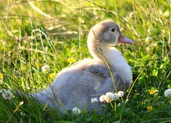 Lavender Duckling...