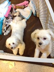Resident Havanese Dogs, Mia and Lucky