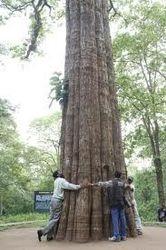 Kannimara Tree