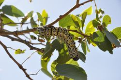 Mopanee  worm a local native delicasy