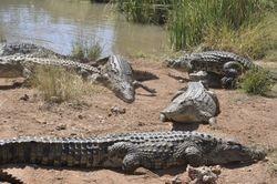 Lots of croc's