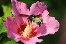 Bumble Bee Collecting HIbiscus pollen