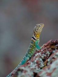 Collared Lizard male