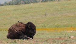 Buffalo and Cowbird