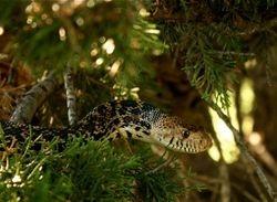 Rat Snake in the Cedar