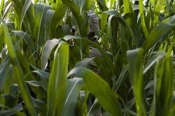 The Cornfields