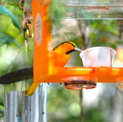 Bullock's Oriole at Grape Jam