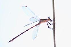 Dragonfly in High Key