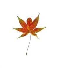 Chinese Maple