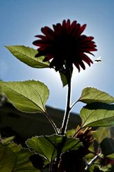 Bee and Sunflower Silhouette