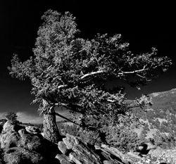 Wind Tree: Rocky Mountain National Park