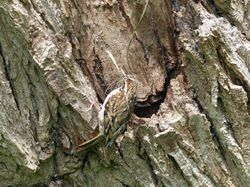 Tree-creeper building a nest