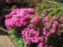 Azalea in Richmond Park