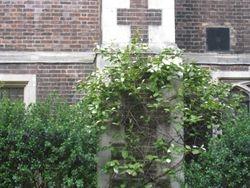 Handkerchief tree Middle Temple Garden
