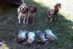 Hunting with Sunset Beagles