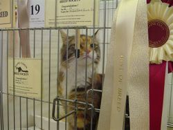 Suzy at the Maine Coon Breed Society Show
