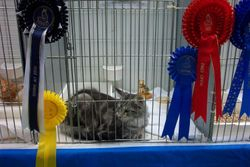Rosie as kitten at the Maine Coon Cat Club Show