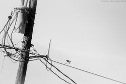 Urban Loggerhead Shrike