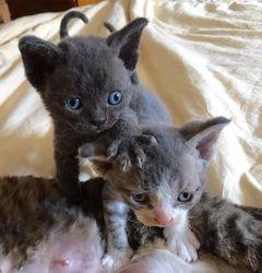 Silver 2016 kittens