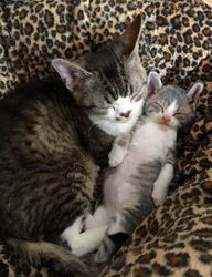 Silver with Kitten 2015