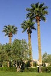 palmera washigtonia robusta