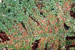 Cotoneaster rastrero horizontal