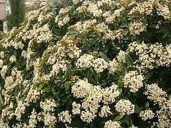 Viburnum tinus. Laurentino
