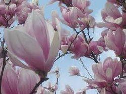 Magnolio soulangeana