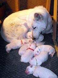 Dakota with puppies @ 2 days